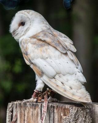 Barn owl-2
